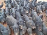 安徽马鞍山哪里有养殖香猪的藏香猪猪种出售