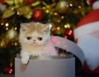 乌鲁木齐加菲猫多少钱 乌鲁木齐哪里出售的加菲猫幼犬价格较便宜