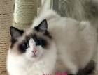 德国WCF正规猫舍繁育的海豹色手套布偶弟弟出售