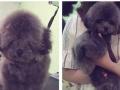 广州狗狗宠物美容 上门洗澡剪毛 贵宾泰迪博美比熊