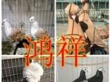 对外出售元宝鸽 燕子鸽 鼓手鸽 芙蓉鸽 毛领鸽 眼睛球鸽