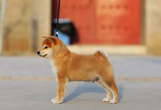 深圳哪里有纯种的柴犬买 日本柴犬报价 柴犬怎样挑 深圳狗场