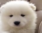 哈市出售萨摩耶 纯种萨摩澳版 宽嘴大毛量幼犬