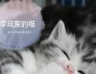 纯种美短银虎斑标斑加白弟弟妹妹找新家可爱起司猫