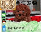 出售纯种健康咖啡色泰迪熊幼犬