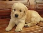 赛级金毛 狗狗保证健康纯种 疫苗做好了 有多条挑选