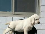 官方保障 犬舍繁殖拉布拉多 包纯种健康养活 送货上门