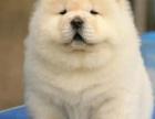 绵阳哪里出售松狮犬 绵阳松狮犬多少钱