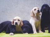 出售高品质拉布拉多犬 签协议包建康 上门赠送大礼包