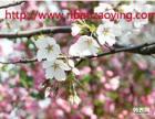 盆栽樱花有哪些养殖方法