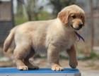 正规犬舍繁殖纯种大骨架爆毛量金毛三个月包养活可上门