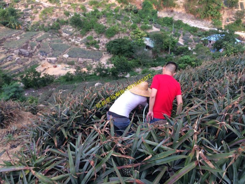 五一假期自驾游带你上山摘中山正宗神湾菠萝