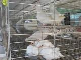 长期出售肉鸽种鸽