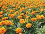 辽宁孔雀草——哪里能买到优质孔雀草