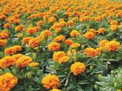 哪里能买到优惠的孔雀草|黑龙江孔雀草