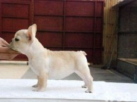出售纯种法牛 法斗幼犬 品相好 包健康 质量保证
