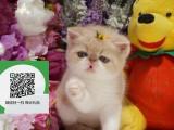 烟台哪里有加菲猫出售 烟台加菲猫价格 加菲猫多少钱