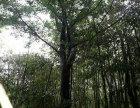 种植连木的注意事项