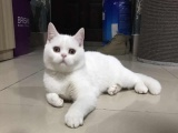 种公单CFA血统稀有色纯白英短,英国短毛猫,宠物猫