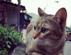 从泰国带回来的埃及猫