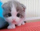 折耳猫 宠物 幼猫折耳猫幼猫 纯种苏格兰折耳猫 幼