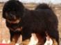 朋友 东方神犬,出售藏獒,那里有藏獒卖