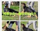 陕西哪里有卖全活格力犬的 惠比特灵缇犬养殖场