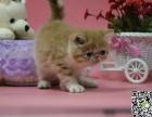 猫舍繁殖长期出售加菲猫 疫苗驱虫做齐 保健康包售后