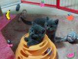 猫舍出售品种小猫 喜欢的粑粑麻麻可以带它们回家哦