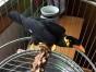 出售鹩哥 亚历山大鹦鹉 和尚鹦鹉 吸蜜鹦鹉 金太阳鹦鹉