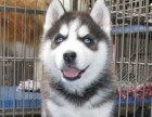 萌宠哈士奇西伯利亚雪橇犬 冠军品质繁育 可上门挑选