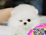 健康精品博美诚信交易专业繁殖出售各类小型犬 给你生活