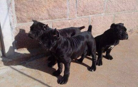 精品卡斯罗犬幼犬出售保证健康纯度犬舍直销