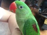 出售亚历山大鹦鹉 鹩哥 金刚鹦鹉 灰鹦鹉 金太阳鹦鹉玄凤绯胸