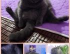 美短英短蓝猫孟买黑猫孟加拉豹猫苏格兰折耳猫找新家