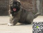 大长毛大骨架 最好品相高加索犬出售,支持视频看高
