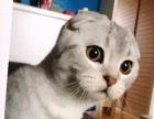 想喂养小折耳猫的,可以联系哦