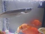 小银龙鱼和一只大鹦鹉,另外送四只小鹦鹉
