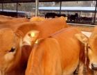 大量出售;毛驴 德州驴 三粉驴 西门塔尔牛