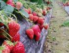 户外草莓采摘园