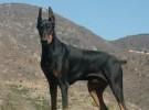 本场出售纯种杜宾犬 杜宾幼犬 品质好 血统保证