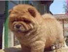 大头肉嘴松狮幼犬 骨量大品相好包纯种健康可签协议
