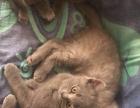 家有两个月蓝猫出售,2公