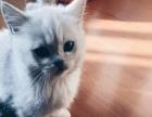 家养纯种英短银渐层猫(有折耳)
