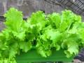 北京盆栽有机蔬菜配送,盆栽有机蔬菜批发,昱旸天地