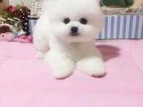 超萌纯种哈多利球形博美幼犬 粉雕玉琢 包健康