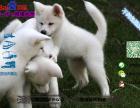 秋田犬多少钱一只/在哪里能买到