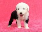 重庆出售纯种英国古代牧羊犬白头通背活体古牧