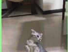 可爱的三个月小折耳猫找新家了