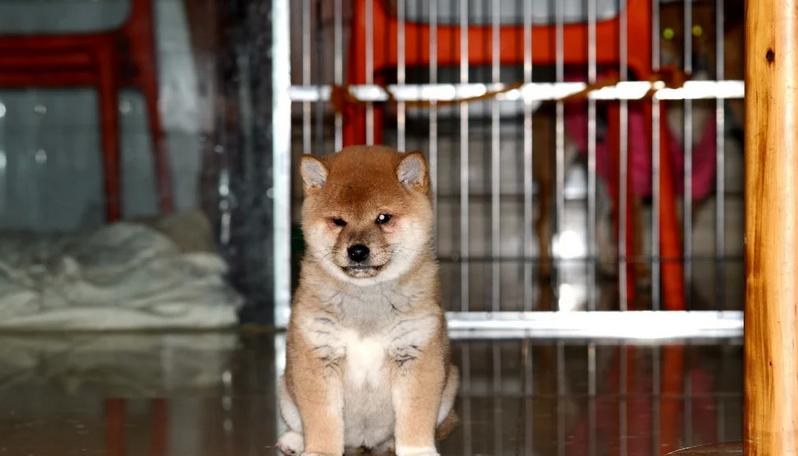 日系柴犬多少钱 宁波市赤色柴犬的价格是多少 黑色柴犬怎么卖